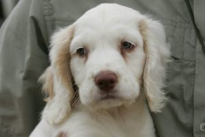 What to expect with a new spaniel puppy