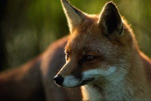 Clear-up time for foxes and rabbits