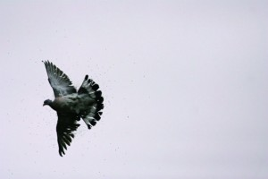 Will Garfit on cartridges for pigeon shooting