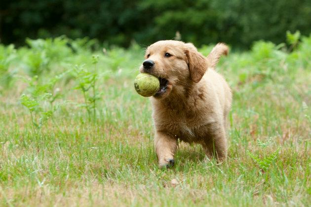 Labrador puppy gundog training