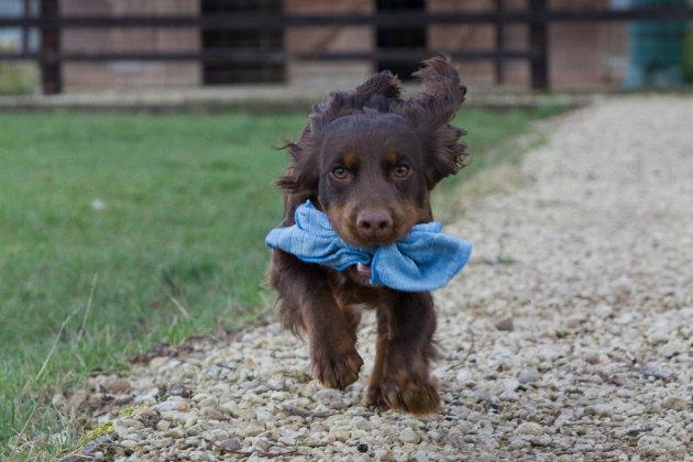 Gundog puppy retrieving
