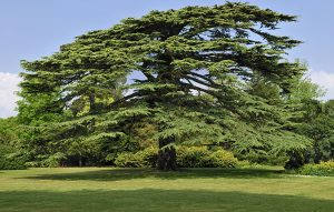 Alan Titchmarsh: Why I wish I'd planted Cedars of Lebanon when I was in my 20s