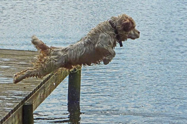 Clumber spaniel jumping into water