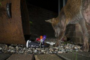 Beware the mangy fox