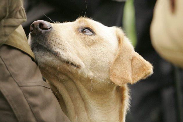 Labrador gundog