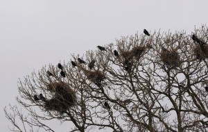 How bad are rooks for game birds?