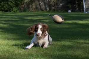 Teaching a gundog to ignore distractions