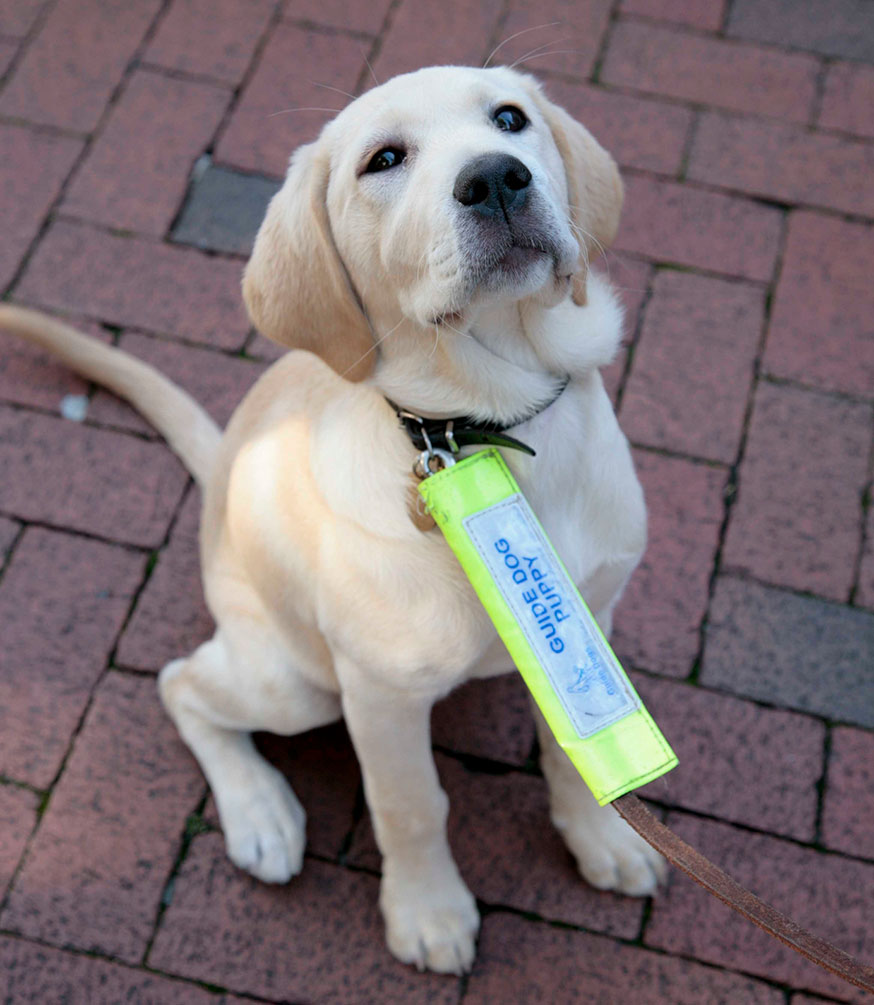 How puppies become guide dogs