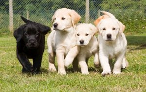 The seven stages of life for a guide dog, from puppy to retiree