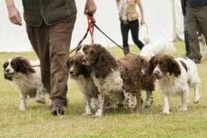 Help! My young springer 'freezes' on a shoot
